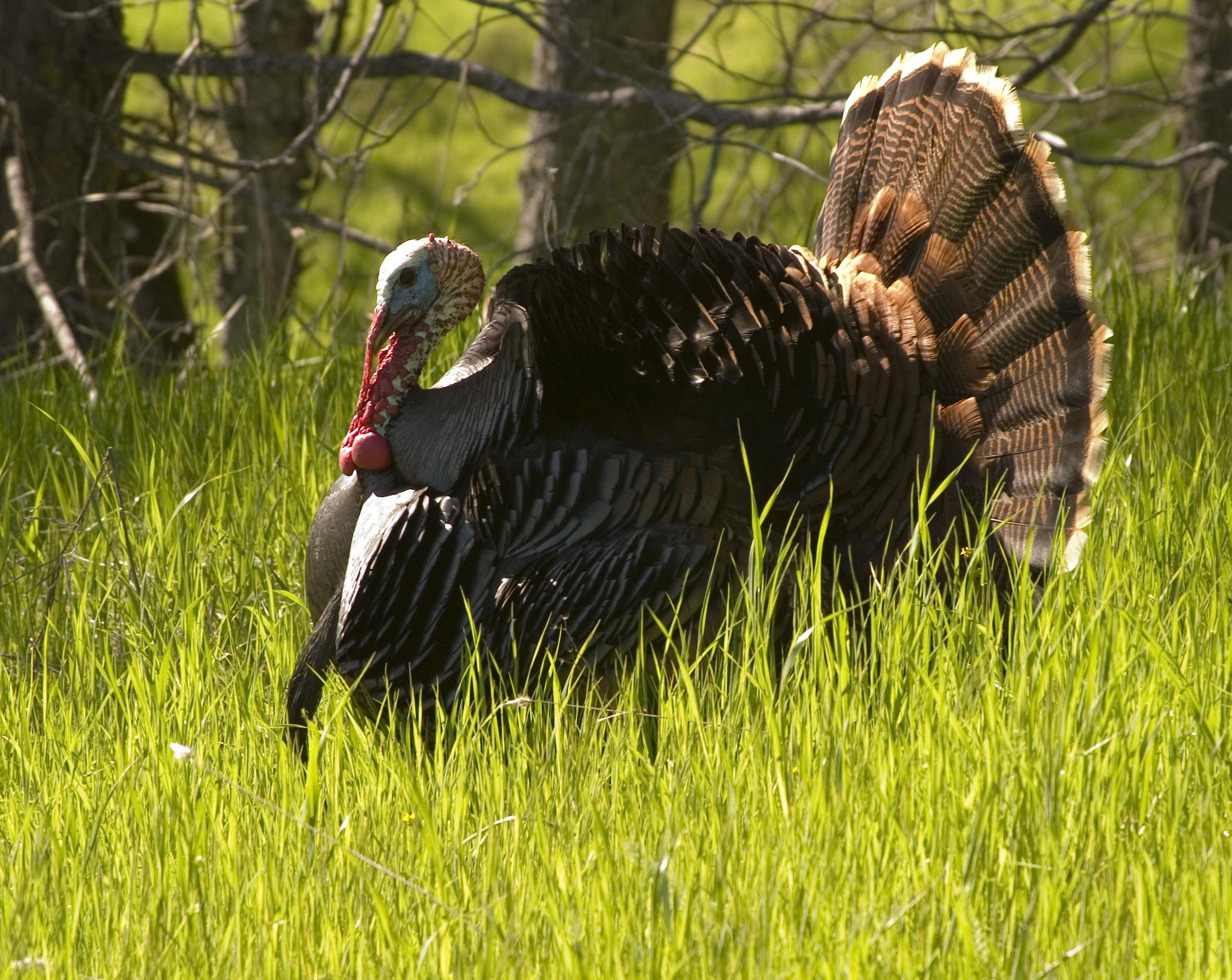 The challenges of turkey hunting with a bow