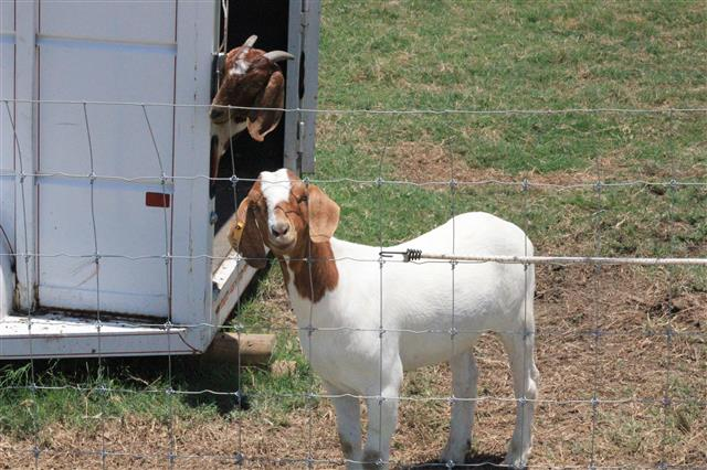 Goats looking around