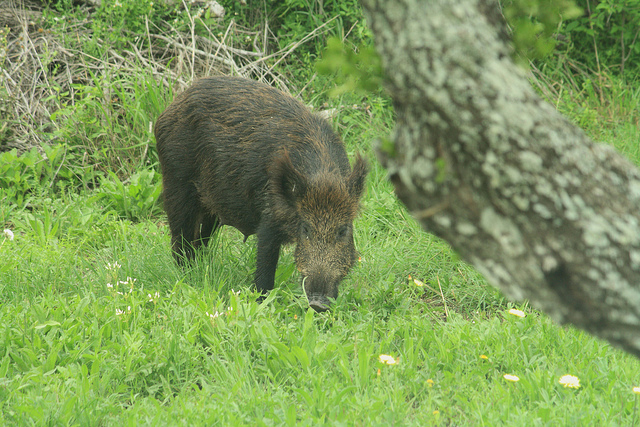 Video: $57 Million Dollars of Crop Damage from Wild Hogs