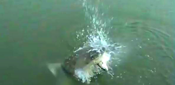 Video: Shark takes Cherry Grove fishers by surprise!