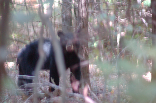 VIDEO: A Terrifying Close Call With a Mama Bear and her Cubs While Bowhunting