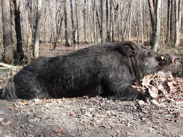 500-Pound Hog Take Down in North Carolina