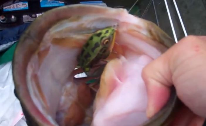 VIDEO: 9 lb 3 oz Bass Attacks Frog in the Air