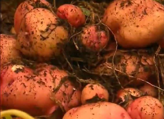 No-Dig Method for Growing Potatoes