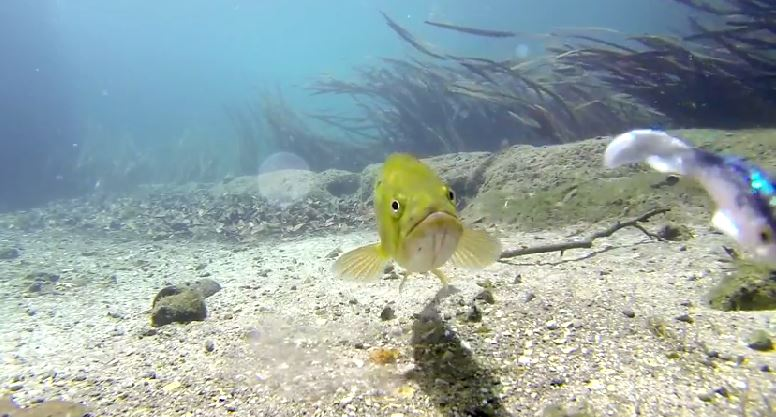 Amazing Footage: Bass Eats Lure in Ultra Clear Underwater
