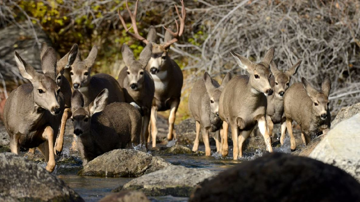 Mule Deer Migration on Video
