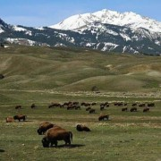 The bison herd in Yellowstone is regulated, just not inside the park's borders. (Courtesy Yellowstone NPS)