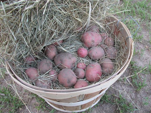 Potatoes stored in a bushel