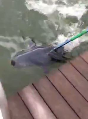 VIDEO: Gaffing a 90 Pound Tuna From a Dock