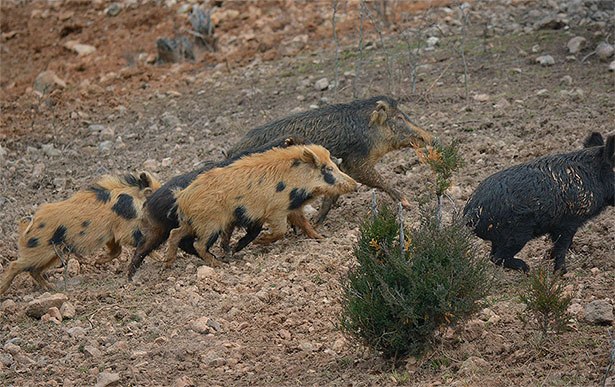 Going Hog Wild for Off-Season Porkers