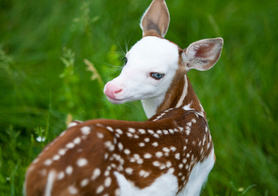 Rare White Faced Deer Finds a Home After Being Rejected by its Mother