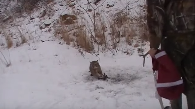Video: Two Friends Try to Release a Trapped Bobcat