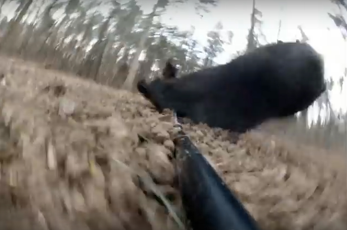 Video: Hog Speared With a GoPro Strapped to the Spear
