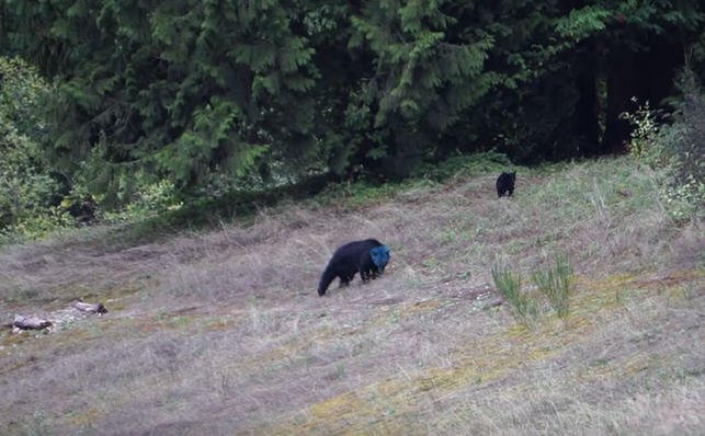 VIDEO: Bear With a Mystery Blue Head Spotted