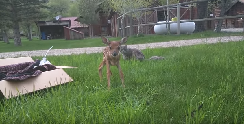 Fawn Refuses to Leave the Human Who Saved Her Life