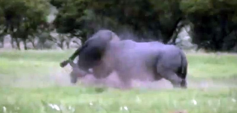 South African Battle: Rhino vs. Cape Buffalo (Video)