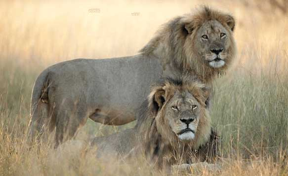 Zimbabwe: Please Come Shoot Our Lions!