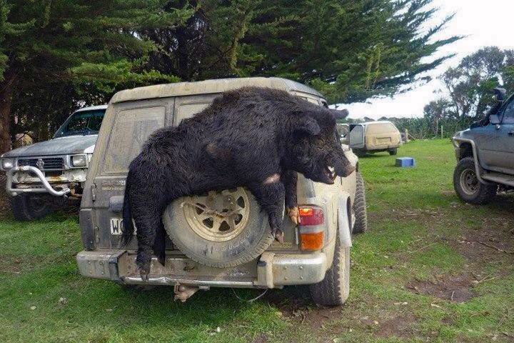 Photo: A Huge Wild Hog from New Zealand's Chatham Islands