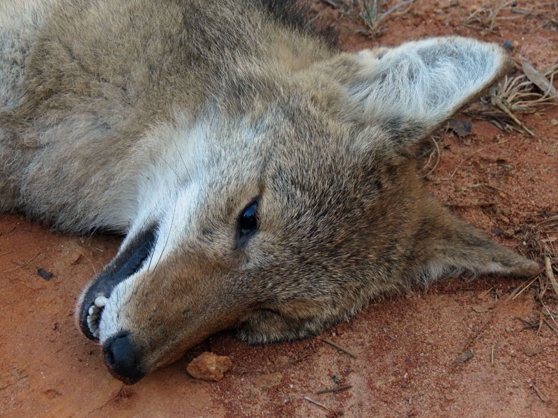 Coyotes are a True Threat to Deer Hunting