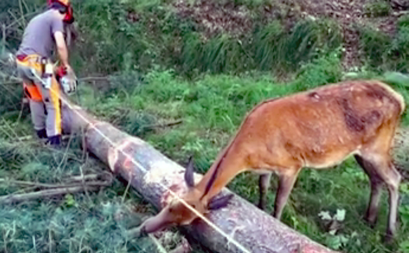 This Deer Loves This Logger… or This Log
