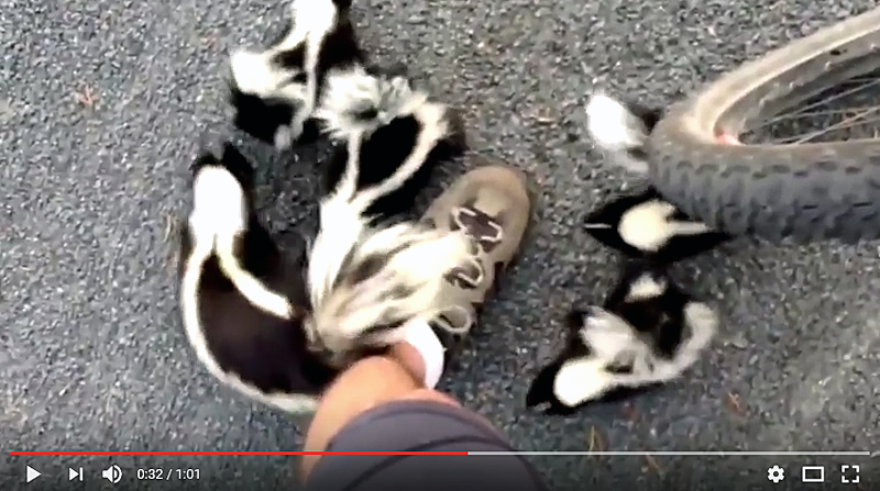 Watch: Outdoorsman Meets a Skunk Squad on the Road
