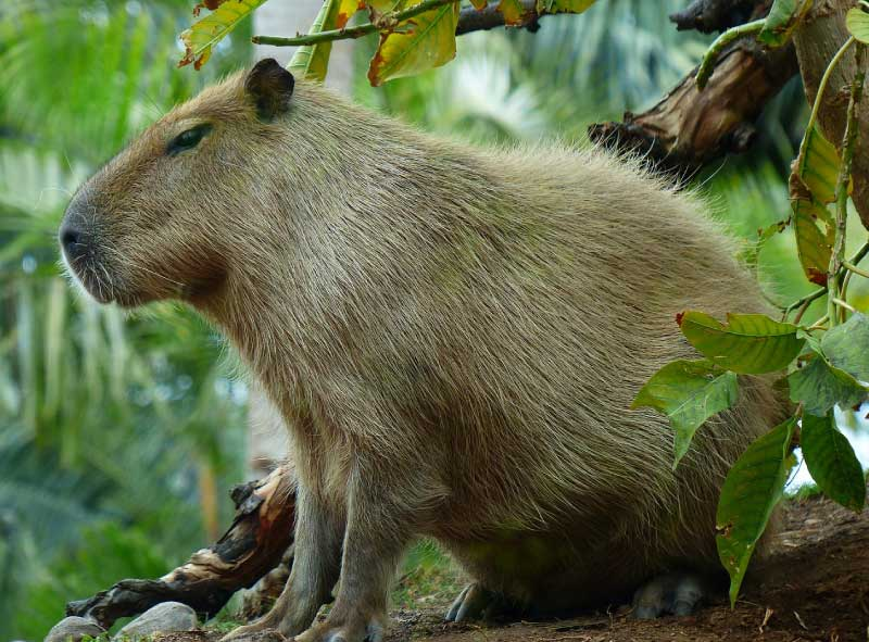 New Giant Rodent Invades Florida