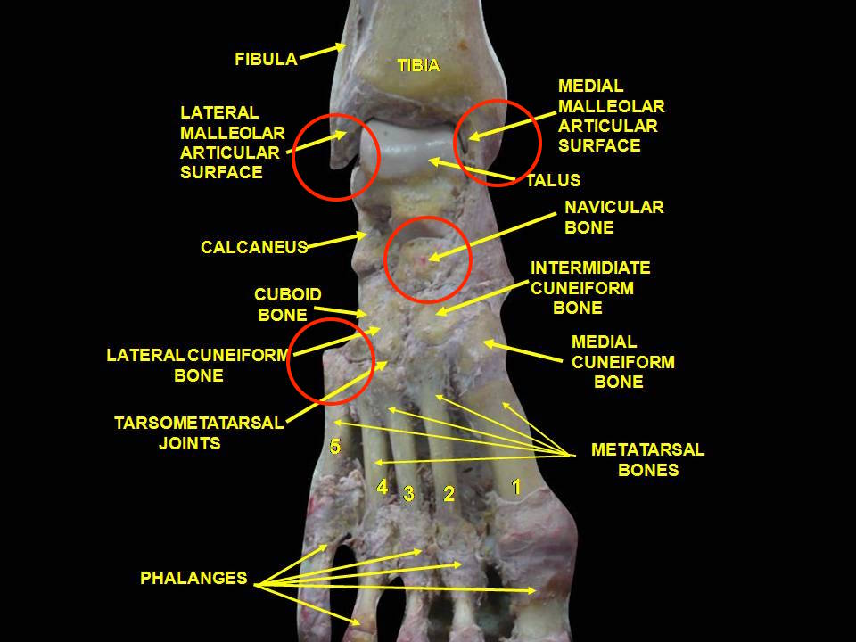 By Anatomist90 (Own work) [CC BY-SA 3.0 (http://creativecommons.org/licenses/by-sa/3.0)], via Wikimedia Commons; I added in the red circles to indicate the test areas
