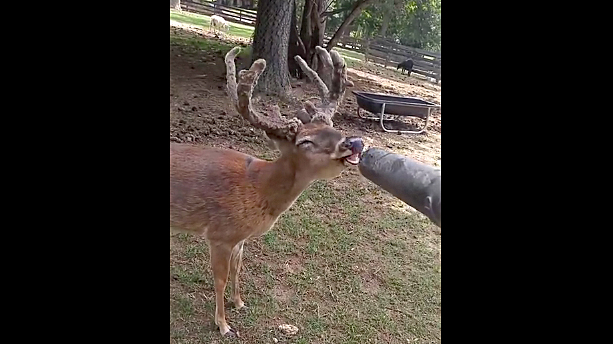 Watch: Big Whitetail Buck Loves a Leaf Blower