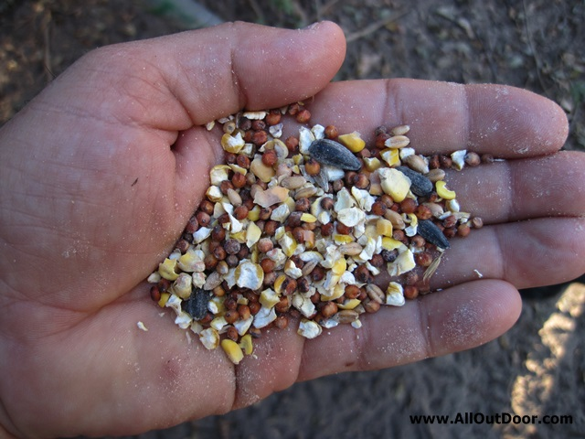 Handful of hen scratch for feeding chickens