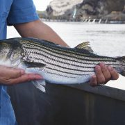 striped-bass-out-of-water