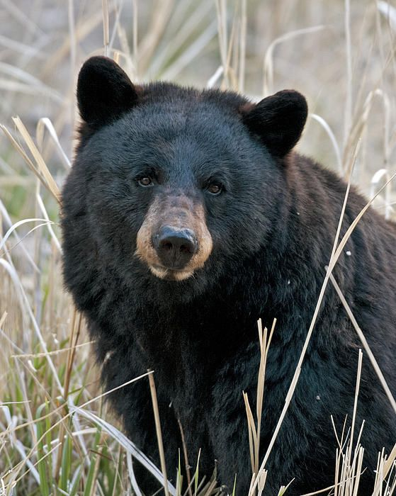 More Bear Hunters Needed in Coastal South Carolina