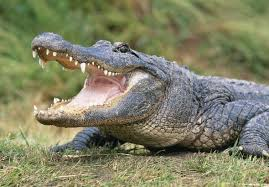 Want a South Carolina Gator? Get a License Now.