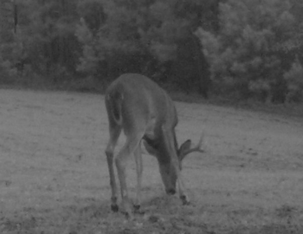 Another photo of the buck that made us sit up and take notice. (Photo © Russ Chastain)