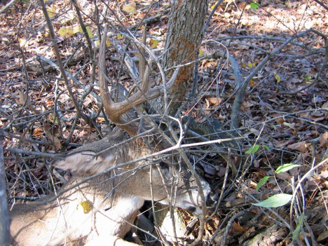 My made-to-order buck, right where he died with his antlers around a tree. (Photo © Russ Chastain)