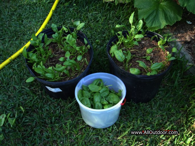 Spinach, an important survivalist food crop