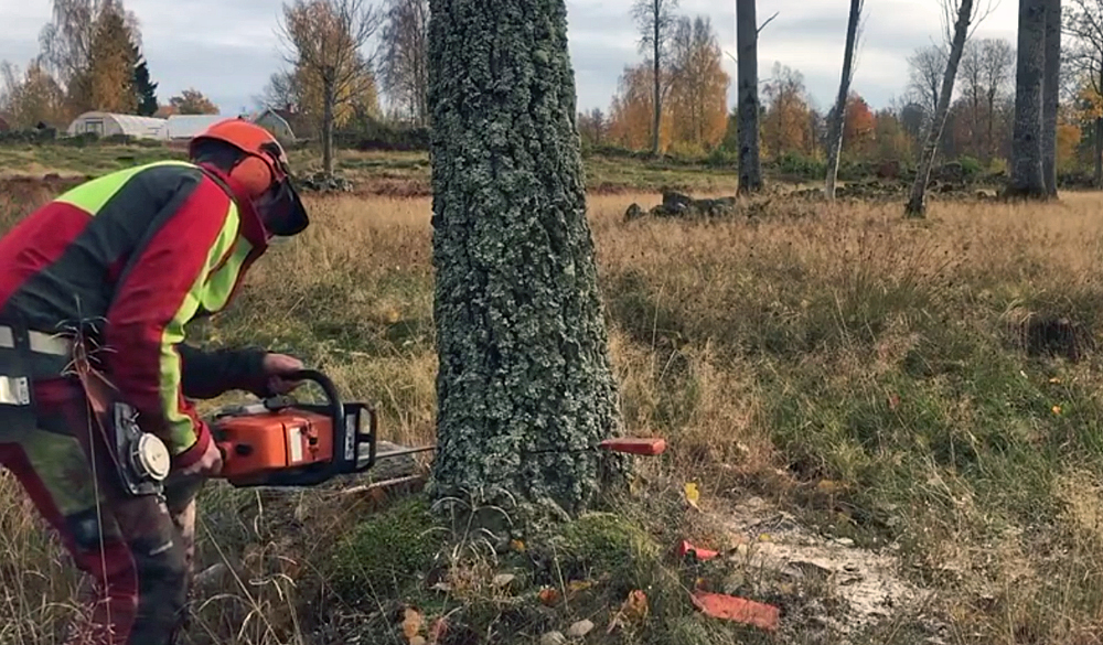Watch: Right Way to Cut a Tree — and Terrible Chainsaw Mistake?