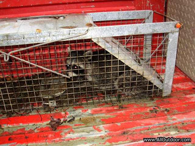Raccoon in live trap