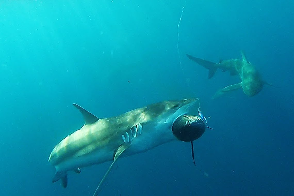 Sharks are Taking the Bite Out of North Carolina Tuna Catches