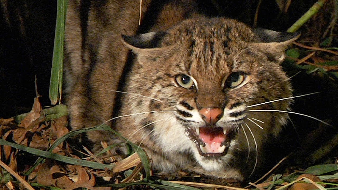 New Hampshire woman, 80, fights off rabid bobcat with gardening tool