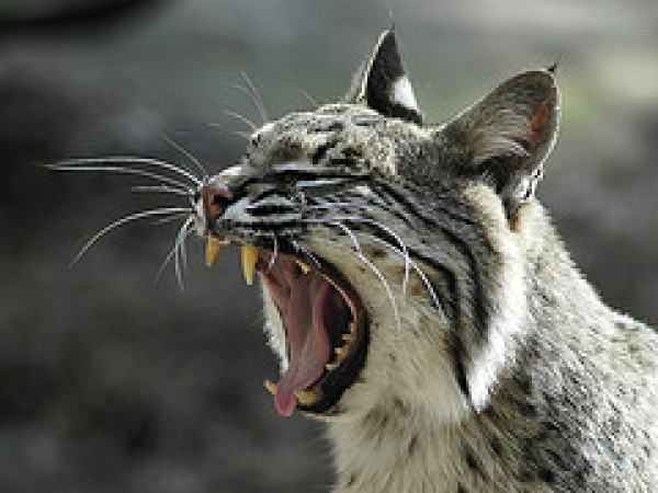 Bobcats with Rabies Attacks are Increasing