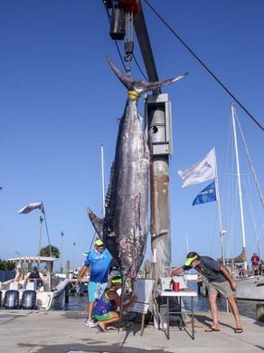 Giant Blue Marlin Caught in Gulf Off Pensacola
