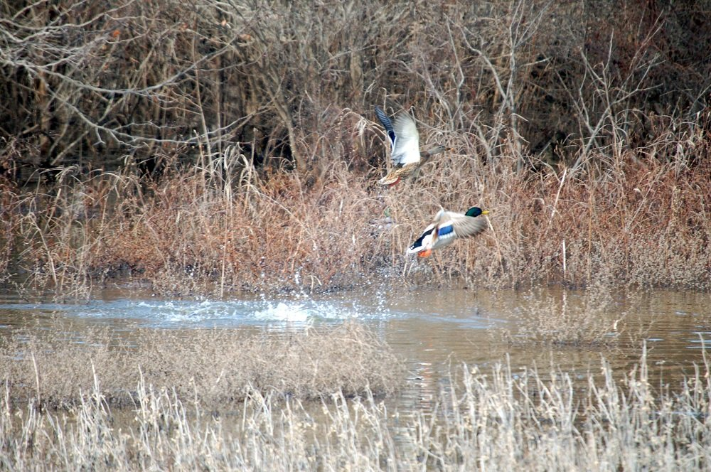 Arkansas Alters Waterfowl Hunting Rules for Non-Residents