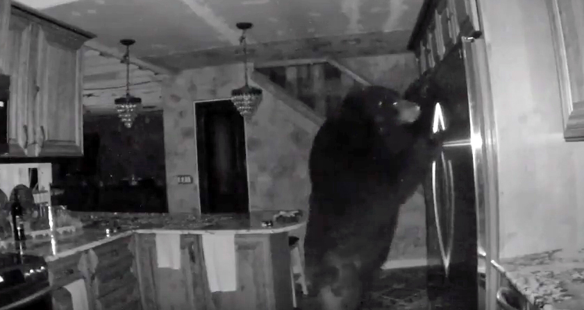 Watch: Black Bear Raids Fridge Like a Hungry Teen