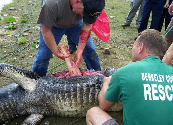 What's Up with Gators These Days Near Fort Myers?