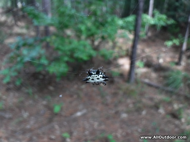 The Spiny Orb-Weaver Spider