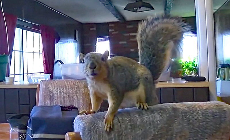 Watch: Joey the Guard Squirrel Foils Burglary