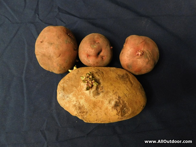 How To Pick Seed Potatoes For Your Spring Garden