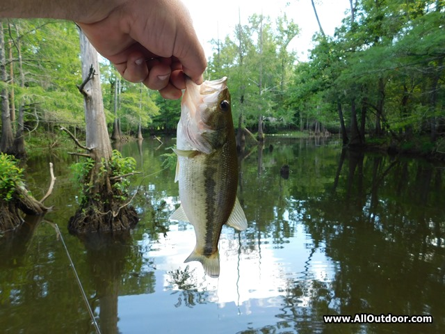 Large mouth bass caught in a slough