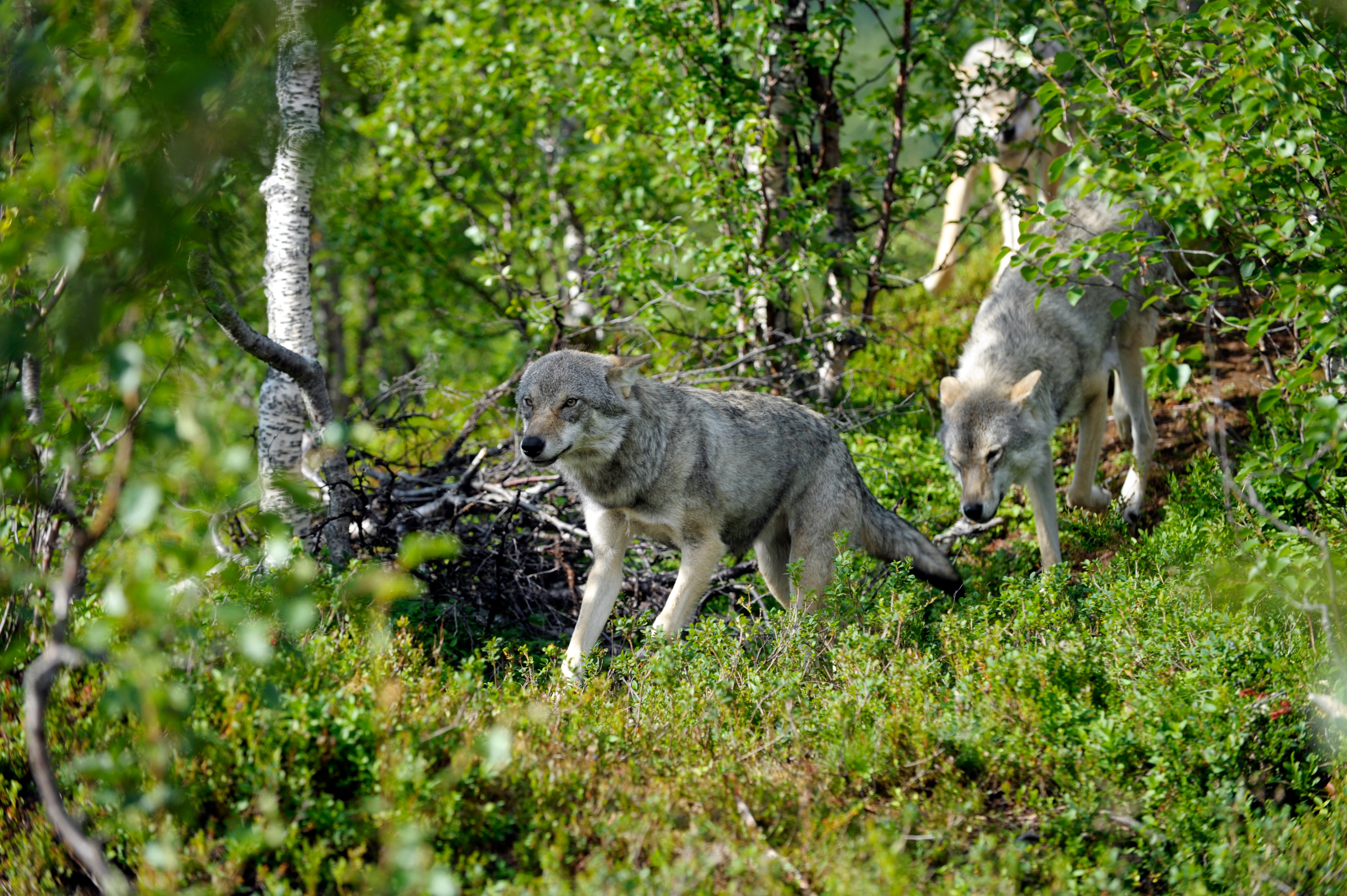 Feds Look to Remove Wolves from Endangered Species List