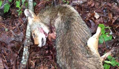 Hiker Attacked by Rabid Coyote, Kills it With Pocket Knife